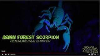 Asian Forest Scorpion