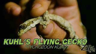 Zilla Kuhl's Flying Gecko