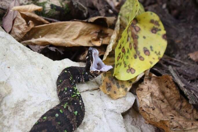 cottonmouth baby snake open mouth
