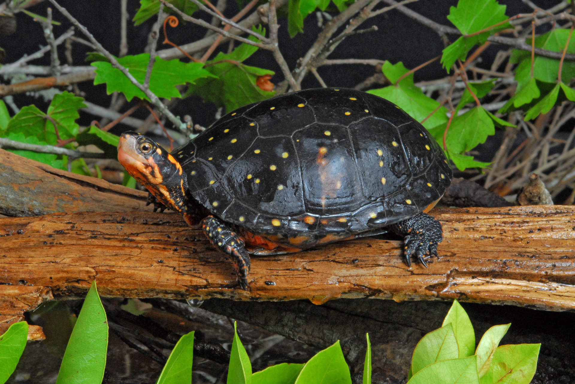 a turtle sitting on a log with its neck stretched and looking at the camera
