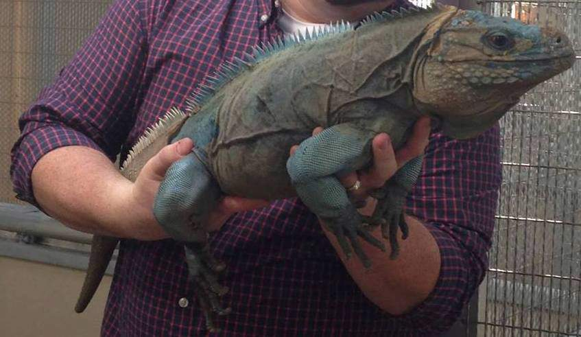 grand cayman blue iguana being held