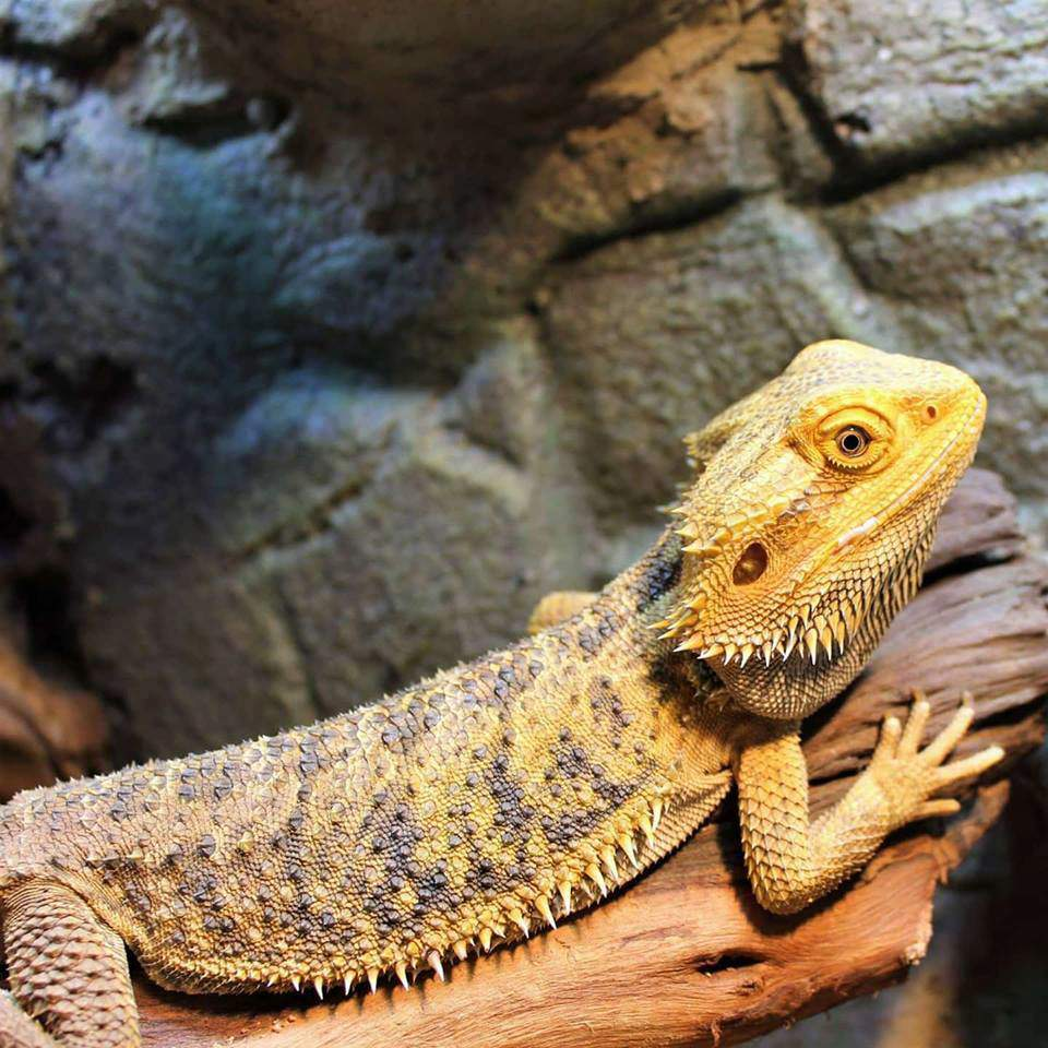 Myths And Facts About Bearded Dragon Care