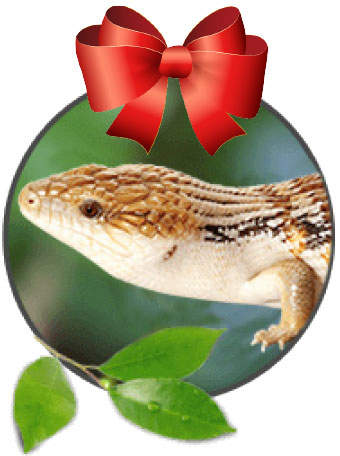 blue tongue skink with a red bow on top