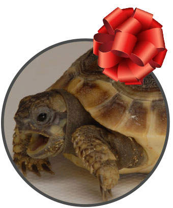 tortoise with a red bow on top