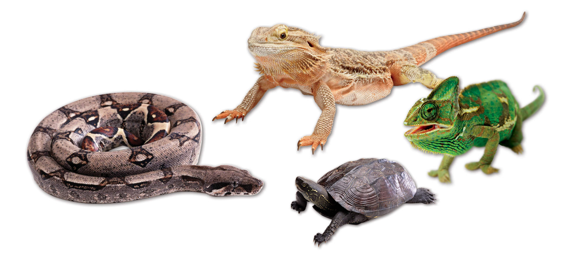 4 reptiles: snake, bearded dragon lizard, turtle and chameleon