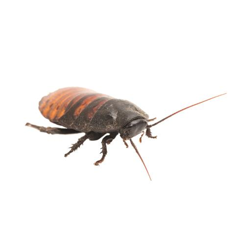 Zilla Hissing Cockroach Care Sheet