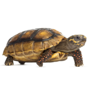 Zilla Red Footed Tortoise Care Sheet