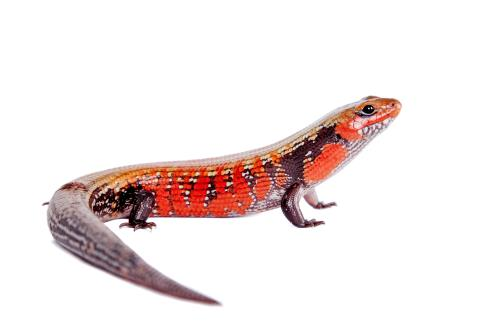 Zilla Caresheets African Fire Skink