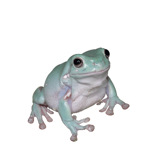 White's Australian Blue Tree Frog