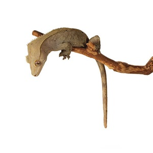 Zilla Crested Gecko