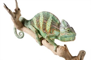 Zilla Caresheets Veiled Chameleon