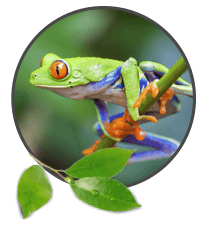 Frogs and Amphibians Highlight Image. Green frog on branch.