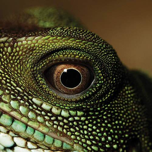Zilla Agama Eye