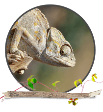 Lizards and Geckos Highlight Image. Chameleon